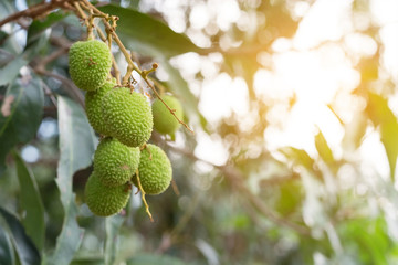 Unripe green lychee hanging from a lychee tree. Fresh green lychee fruits grow on tree.