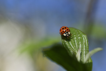 Ladybug in the spring