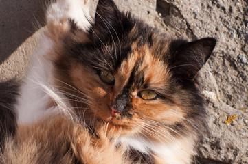 Hawksbill cat