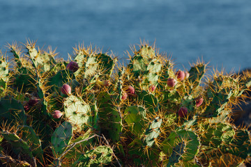 cactus Opuntia with flowers on blue sea background