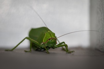 Beautiful and gracefully portrait of green locust , amazing grasshopper closeup,  photography of insect, locust background