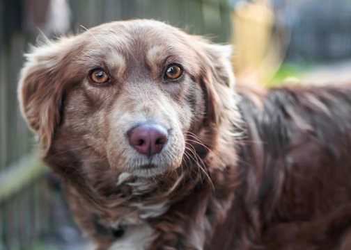Close-up portrait of Beautiful smart brown dog looking into camera on old wooden fence blurred background. Emotions and feelings of dog, sadness, aggression