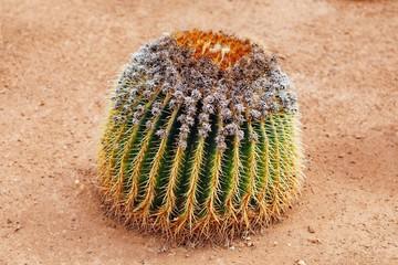 huge cactus, closeup view