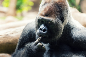 silverback gorilla with finger in mouth