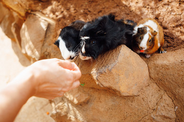 guinea pig feeding in contact zoo