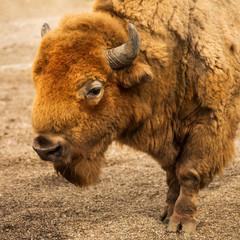 Fototapeta bison animal portrait