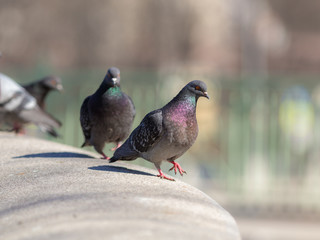 gray pigeons in the foreground