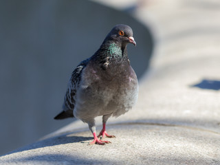 portrait of pigeon