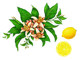 Great illustration of beautiful yellow lemon fruit on a branch with green leaves and flowers isolated on white background. Set of watercolor drawings by hand