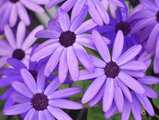 Group of purple daisies flowering in a garden