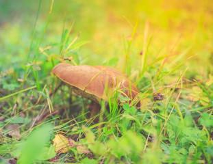 Mushroom, close-up, sunny meadow
