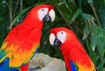 A close-up photo of parrot ara