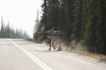 Bull moose (Alces alces) walking on road, Denali National Park, Alaska, USA