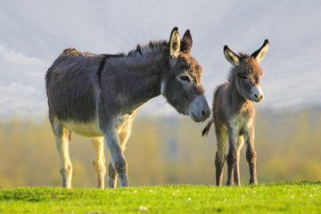 Foto op Plexiglas Ezel Cute baby donkey and mother on floral meadow