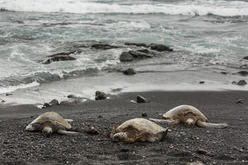 Green turtles rest on the shore, on the black sand at Punaluu Black Sand Beach Park on the Big Island of Hawaii.