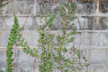 Full frame background of a vine plant (or climber or creeper) on a concrete brick wall
