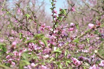 Campos de melocotoneros en flor, Aitona, Lleida