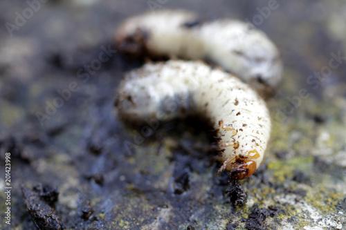Beetle Foto stock e immagini Rose da Larve N8n0OwXkP