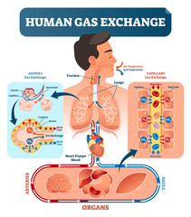 Human gas exchange system vector illustration. Oxygen travel from lungs to heart, to all body cells and back to lungs as CO2.