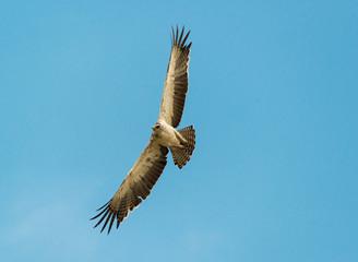 Eagle being harrassed by a black bird, Lake Naivasha Kenya