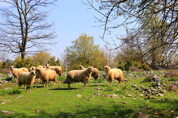 sheep flock to the mountain