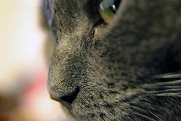 Cat face close-up, macro photography.