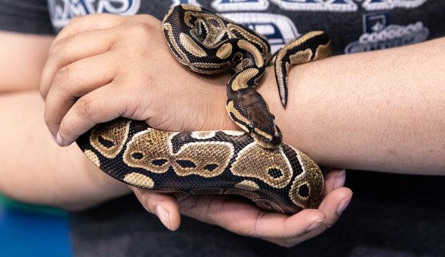 Big snake in a petting reptile zoo