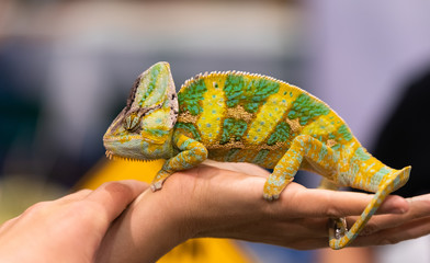 Big chameleon in a petting reptile zoo