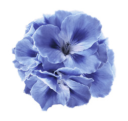 A bouquet of light blue begonias on  a white  isolated background with clipping path.  Close-up without shadows. Nature.