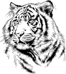 large striped tiger drawn ink sketch in full growth