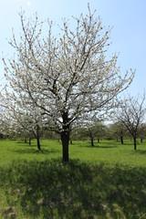 Obstbaumplantage mit blühenden Apfelbäumen und Kirschbäumen im Frühling