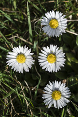 Daisy flowers in the grass.