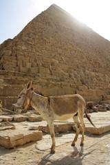 Donkey under pyramid