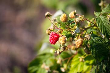 Ripe raspberries on a bush in the garden