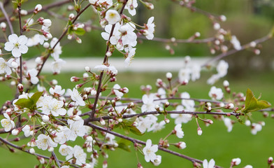fresh white cherry flowers on a blurred green garden background.