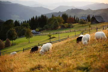 Flock of sheep at sunset. Sheeps in a meadow in the mountains. Beautiful natural landscape