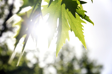 Plane Tree Leaf with sun.