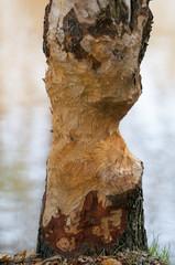 Gnawed tree