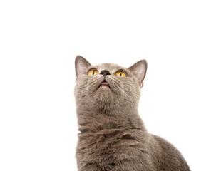 gray british cat on the white background