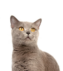 gray british cat on the white background