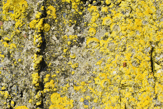 Old gray rough texture concrete wall with yellow moss, grunge horizontal texture background