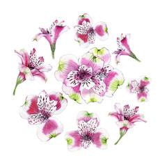 Set of hand drawn watercolor Alstroemeria flower