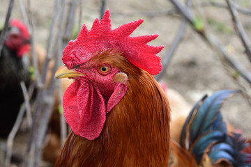 Rooster portrait.