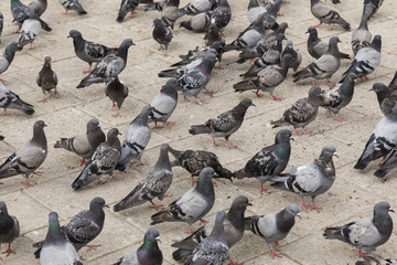 Many pigeons are standing on the ground waiting to be fed