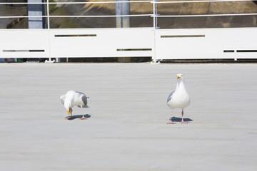 Couple de mouettes au port