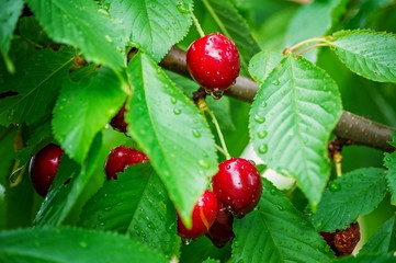 Cherry on a tree in the garden.