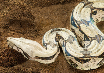 Boa constrictor constrictor – Surinam Guyana, with curved body in motion. Female