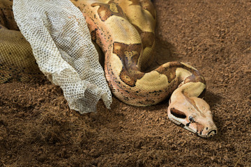 Boa constrictor imperator - Female. Mutational form Hypo Jungle. Albino. Snake next to her old skin