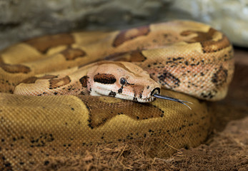 Boa constrictor imperator - Female. Mutational form Hypo Jungle. Albino. Snake shows her tongue