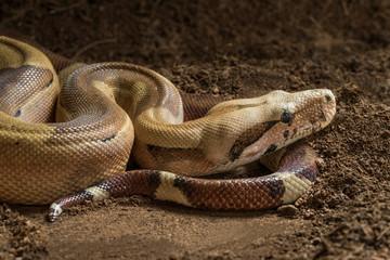 Boa constrictor imperator - Male. Mutational form Hypo Jungle. Albino